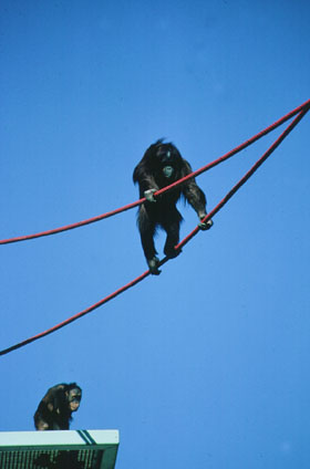Orangutans using Rope Crawlway at the National Zoo
